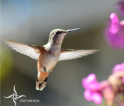 Sterrenwijs Kolibri